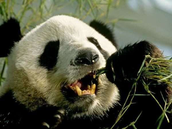 bizarra campaña para salvaguardar la especie Panda